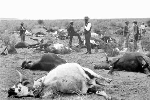 Cows dead from rinderpest in South Africa, 1896. Source: Wikipedia.  Public Domain.