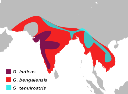 Range map of three Gyps species in South Asia. Image:  Shyamal.  Wikipedia. Common domain.