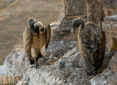 Gyps indicus vultures in the nest, Orchha, Madhya Pradesh. Source:  Yann (talk), Wikipedia.  Creative commons Attribution Share-alike.